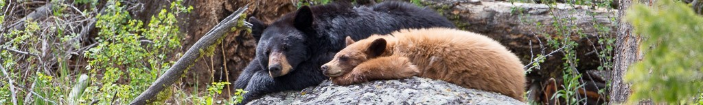 Yellowstone Spring Workshop - Babies & Bears 2017