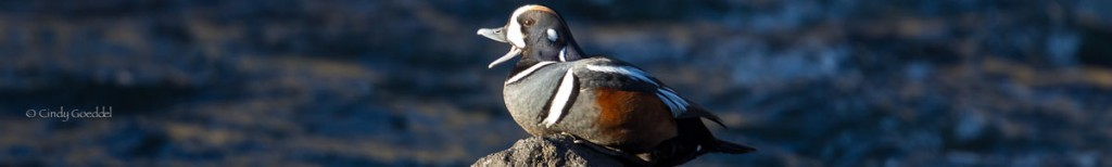 Harlequin Ducks Return