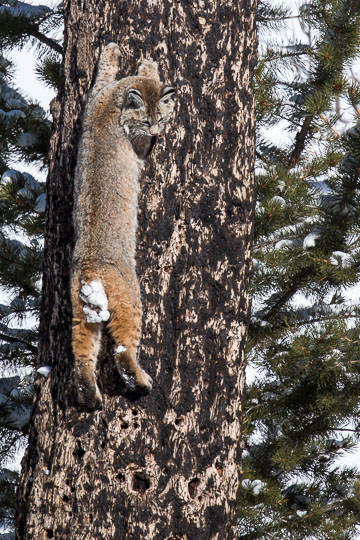 Coyote Climbs Tree and Steals Bobcat's Duck!