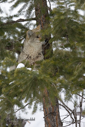 BlogCoyote Climbs Tree and Steals Bobcat's Duck!