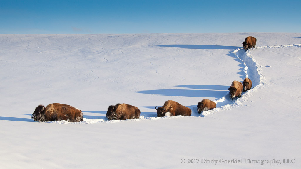 Bison Breaking Trail through Deep Snow, Yellowstone Winter