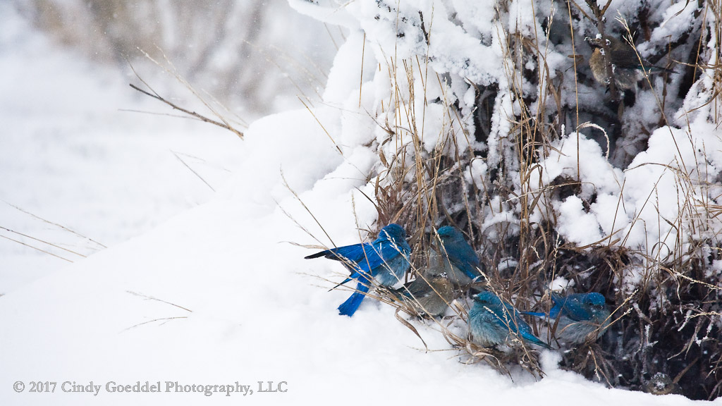 Seven Bluebirds in a Blizzard