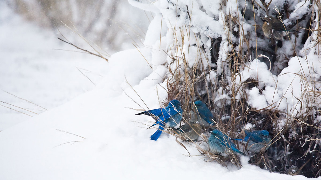 Bluebirds in a Yellowstone snowstorm
