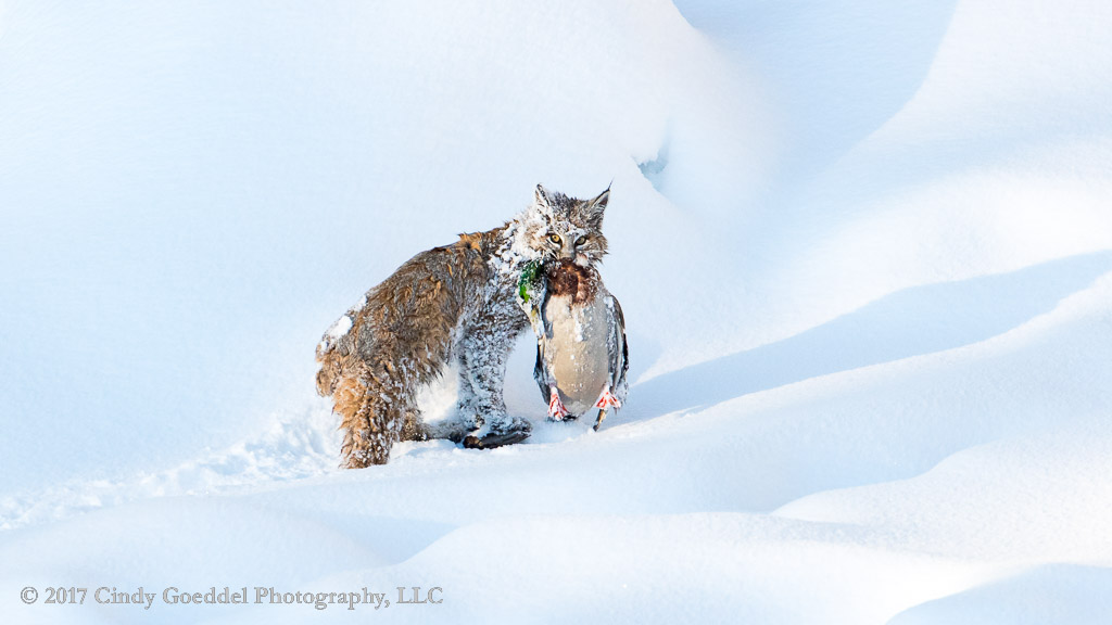 Mallard Falls Prey to a swimming Bobcat on the Madison River, Winter