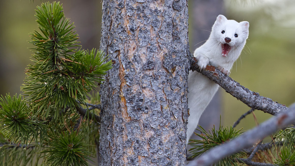 Ermine weasel yawning in Yellowstone