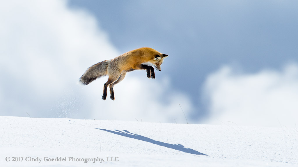 Leaping Fox Mousing Casts a Big Shadow, Yellowstone in Winter