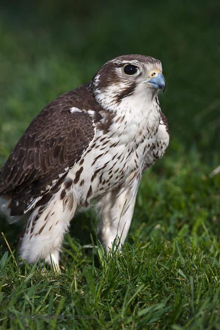 Falcons For Sale >> Prairie Falcon | Cindy Goeddel Photography, LLC