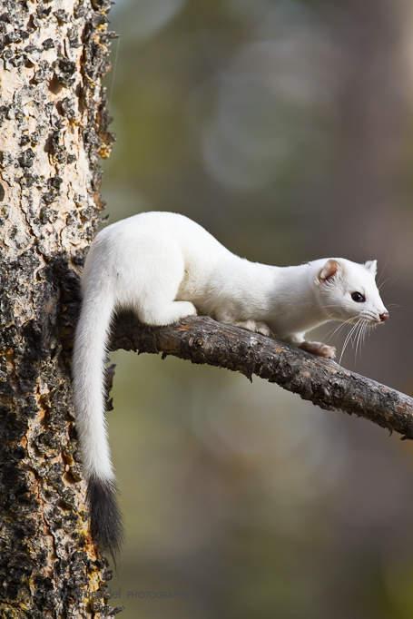 Winter Weasel | Cindy Goeddel Photography: goeddelphotography.com/portfolio/wildlife/weasels-martens/ermine...