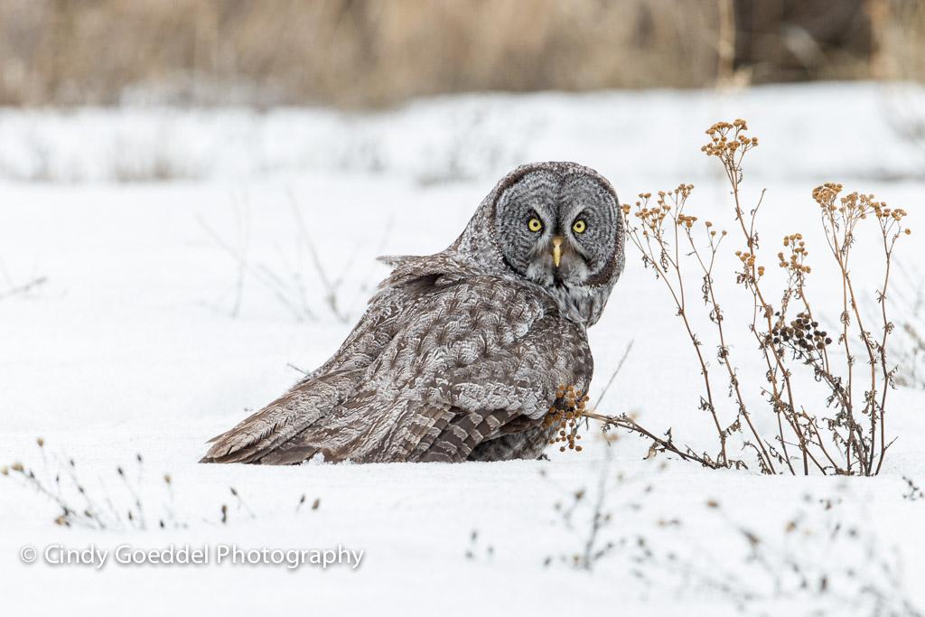 Great Grey Owl Flying Great Grey Owl Flying ...