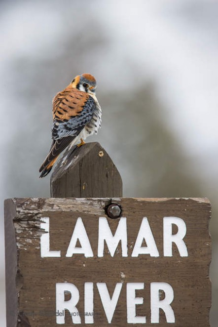 Kestrel on Lamar