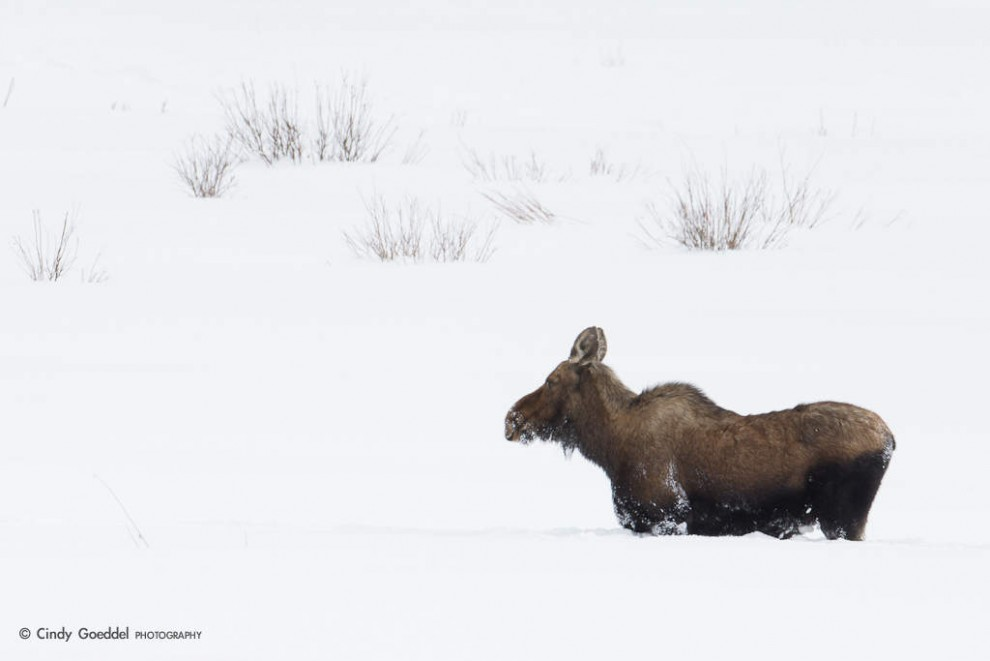 Moose in Really Deep Snow