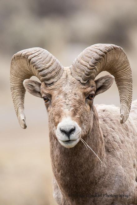 Ram Big Horn >> Bighorn ram full face portrait grass. | Goeddel ...