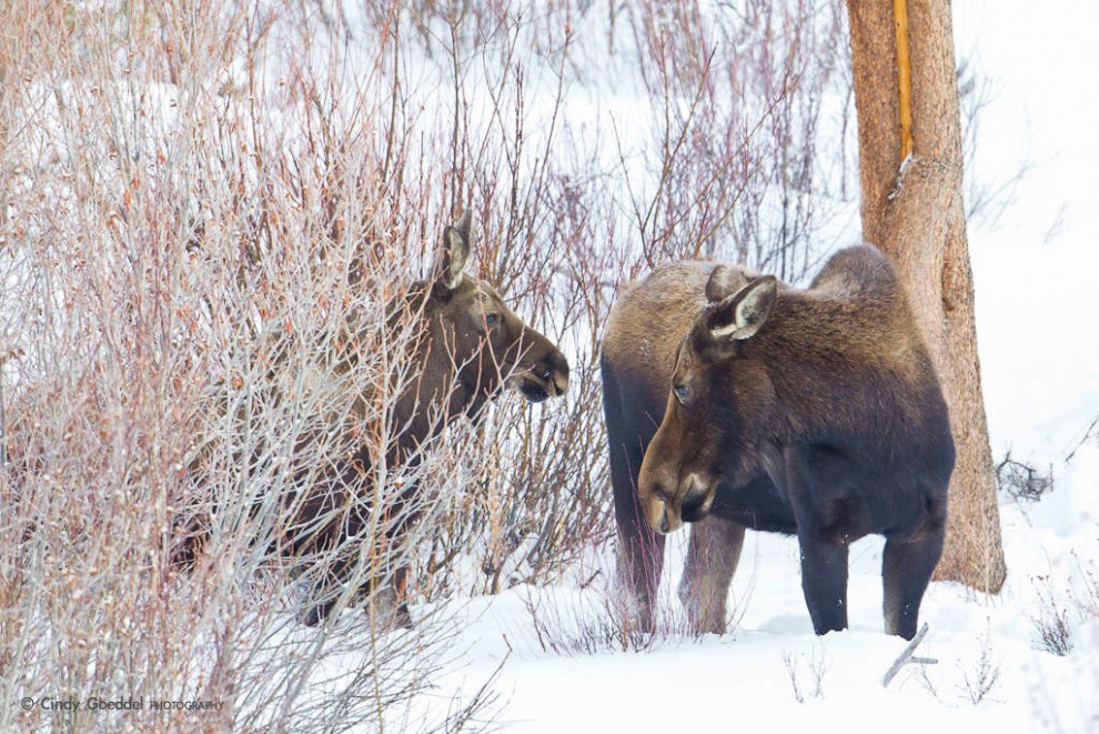 Moose Cow and Calf in the Willows