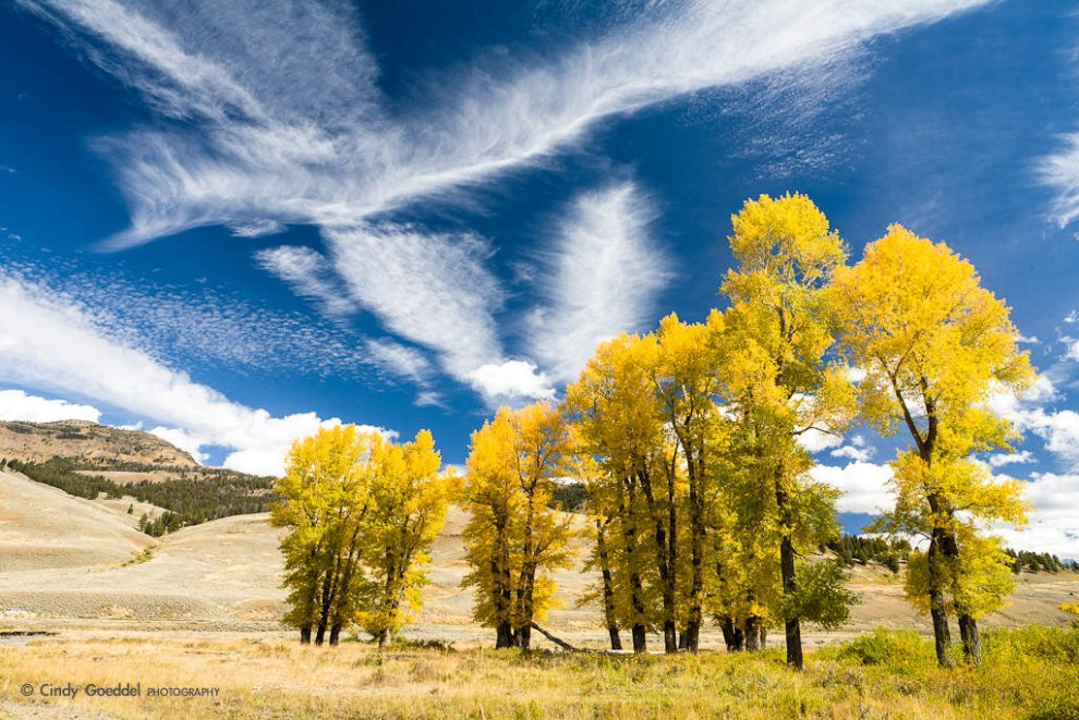 Autumn Cottonwood Trees and Clouds