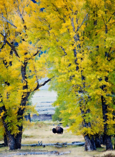 Bison Framed by Cottonwoods