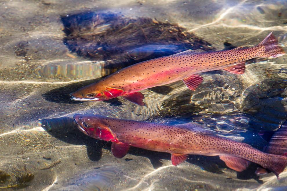 Spawning Yellowstone Cutthroat 2