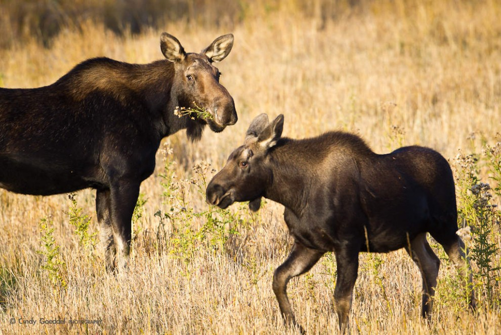 Cow and Calf Moose-October