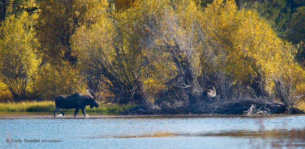 Bull Moose on the Snake River