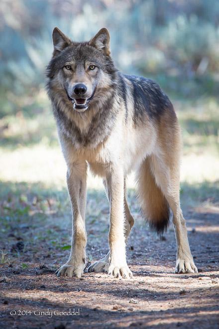 Beautiful Wild Wolf Portrait Cindy Goeddel Photography Llc