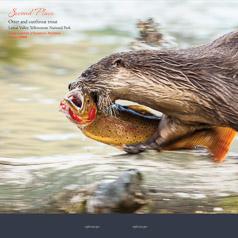"""An Otter Runs Through it"" Wyoming Wildlife 2015 Photo Contest"