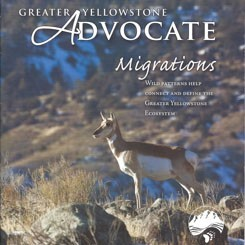 Pronghorn Migrations-Greater Yellowstone Coalition
