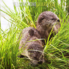 Yellowstone Quarterly Baby Otters-Cover by Cindy Goeddel