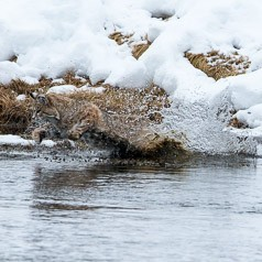 Leaping for a Muskrat
