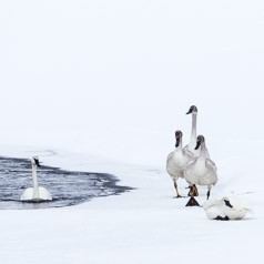 Trumpeter Swan Family In Winter