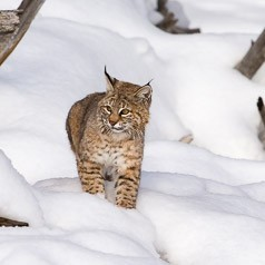 Bobcat on the prowl.