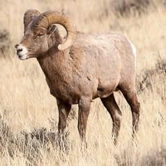 Bighorn Ram Challenge