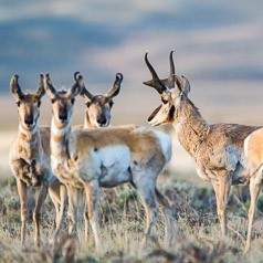 Pronghorn Grouping