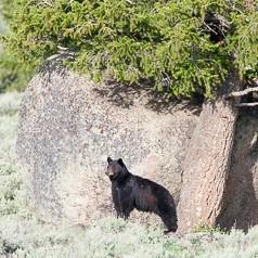 Moma Bear