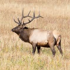Fall Bull Elk