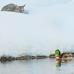 Bobcat Stalking Mallard on the Madison River