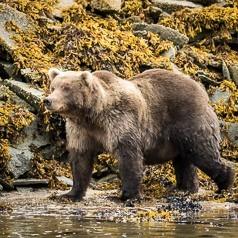 Katmai Coastal Brown Bear
