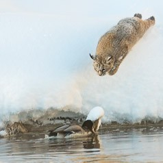 Bobcat Leaping Successfully onto Drake Mallard