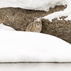 Snowy Watch