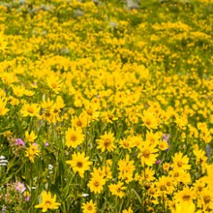 Arrowleaf Balsamroot Field