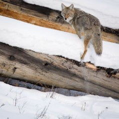 Coyote on Deadfall