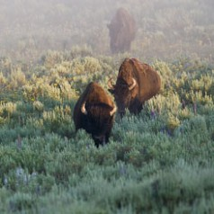 Hayden Valley Bison in Fog