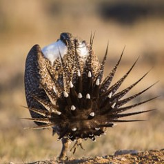 Sage Grouse Mating Display-6