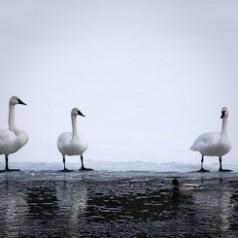 Trumpeter Swans and Mallard