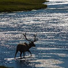 Velvet Bull Elk