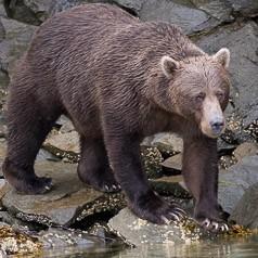 Katmai's Brown Bear