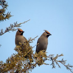 Bohemian Waxwings and Berries