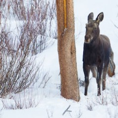 Moose Yearling in Snow and Willows