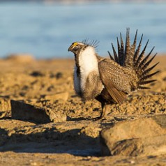 Sage Grouse Mating Display-7