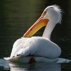 Pelican Orange