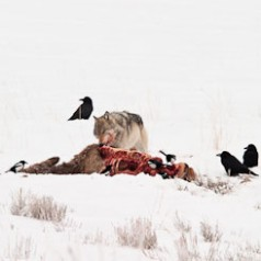 Grey Wolf on Elk Carcass
