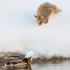 Bobcat Duck Hunt